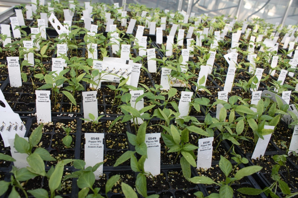 Pepper-plants-growing-in-the-Vineland-greenhouse-media-1024x682.jpg